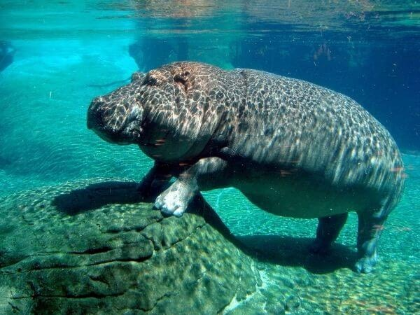 Hippo completely submerged in water