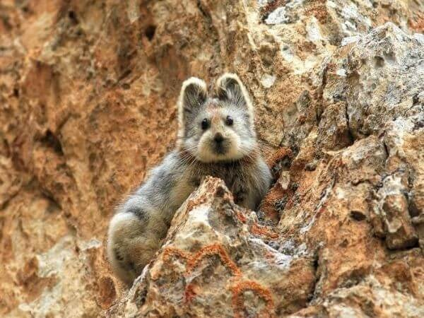 Ili Pika is one of the rarest and the cutest animals in the world