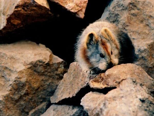 Ili Pika eating