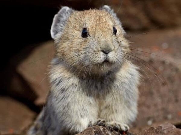 Ili Pika looking into the camera