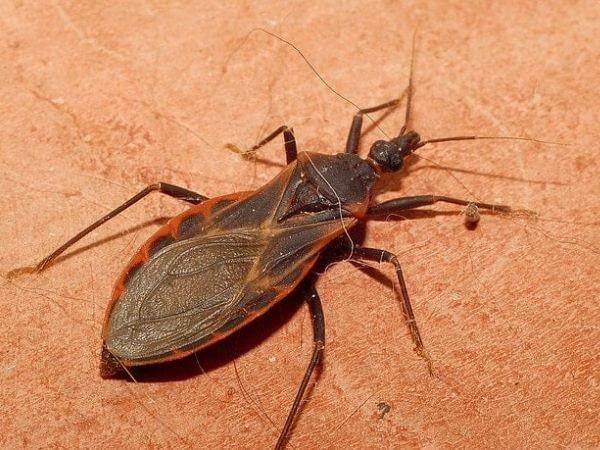 Closeup image of a kissing bug