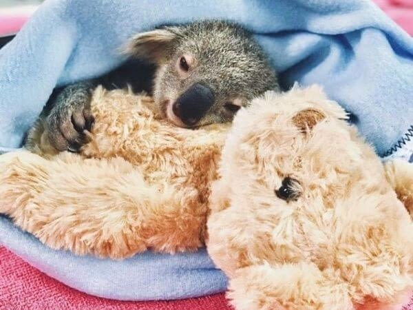 koala wrapped in a blanket holding his soft toy