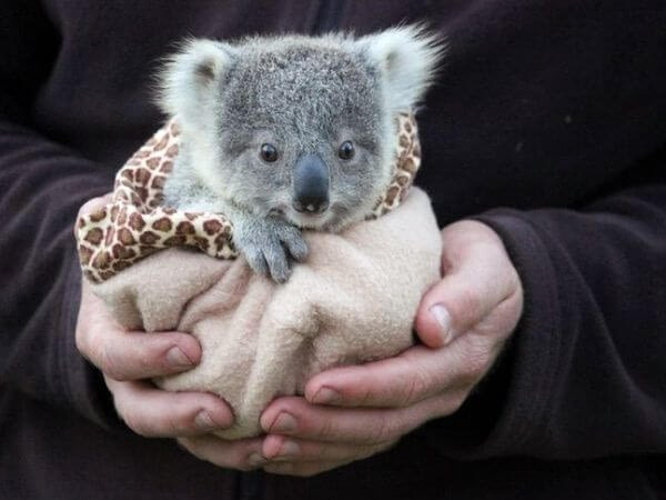 a baby koala wrapped in a blanket