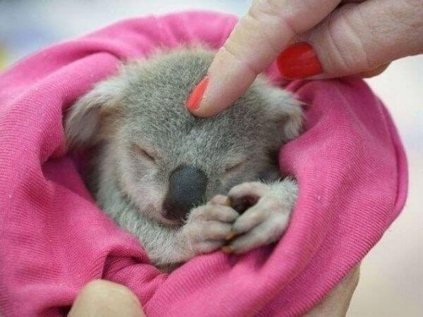 A baby koala wrapped up in a blanket