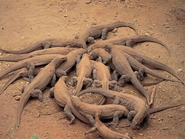 A group of Komodo dragons.
