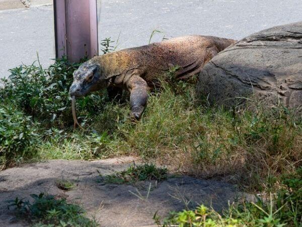 A Komodo dragon in Memphis zoo