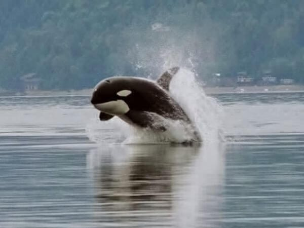 A killer whale leaps out of the water while swimming