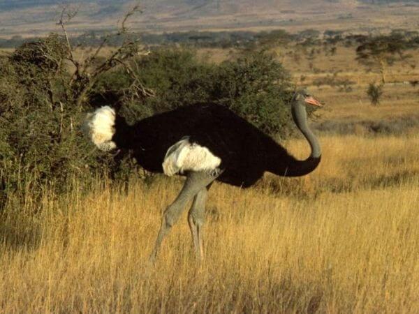 A male Somali Ostrich in a Kenyan savanna, showing its blueish neck