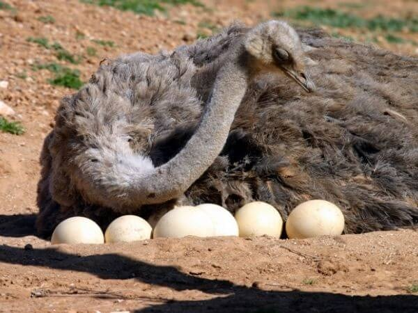 A female Ostrich with her eggs