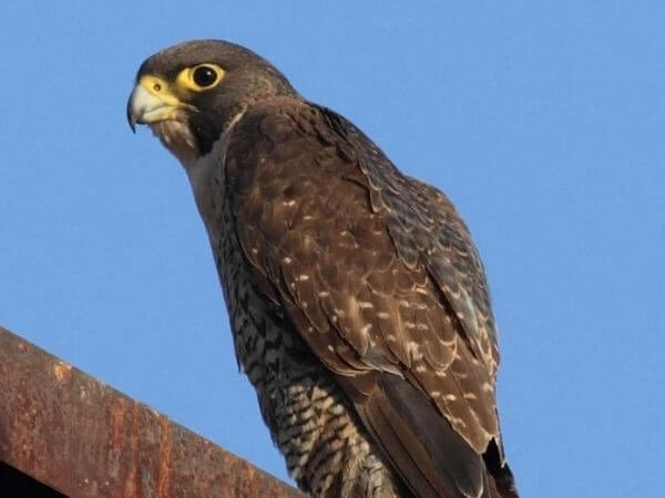 Peregrine falcon is the fastest animal in the world.