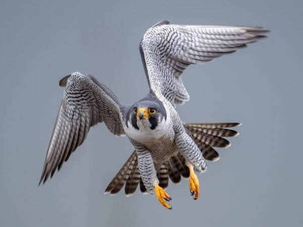 Peregrine Falcon flying along the coastline of the White Cliffs of Dover in England
