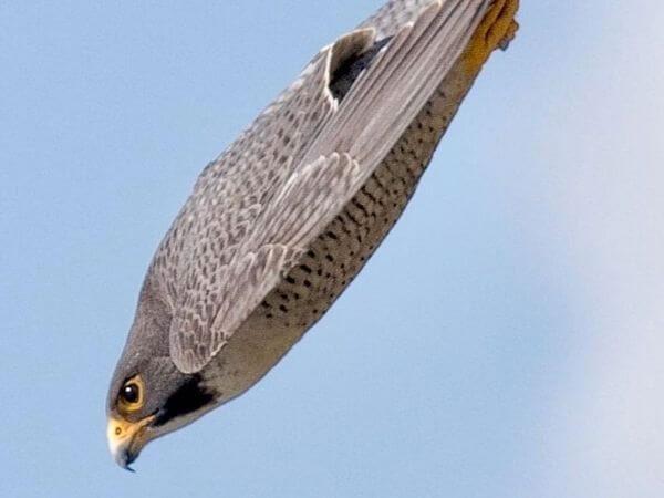 peregrine falcon diving down to catch his prey