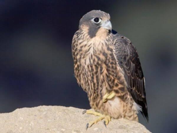 Juvenile Peregrine Falcon in San Pedro, California