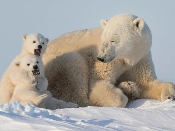 Polar bear mother and cubs in Svalbard, Norway