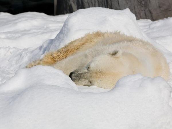 Polar bear sleeping near Kaktovik, Barter Island, Alaska