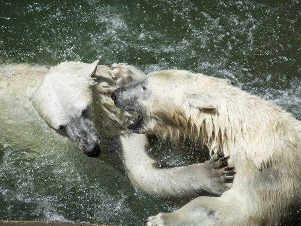 Male polar bears playfight in Czech Republic