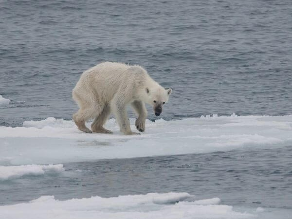 A starving polar bear near Svalbard