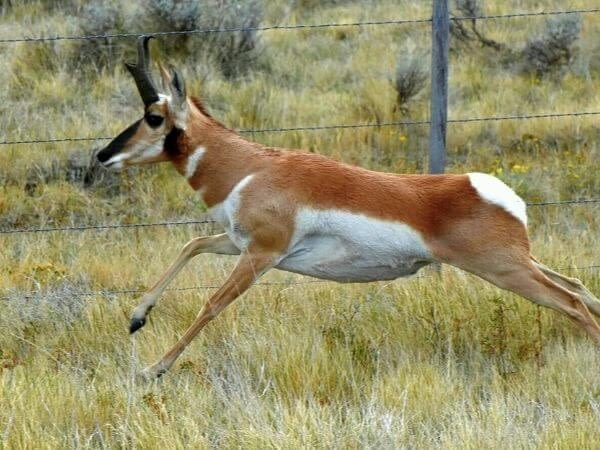 Young pronghorn buck near Pinedale, Wyoming