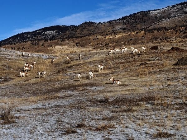 Pronghorn herd, Yellowstone National Park