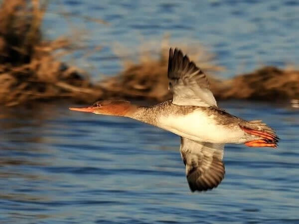 female red-breasted merganser searching for prey in Oceanville, New Jersey.