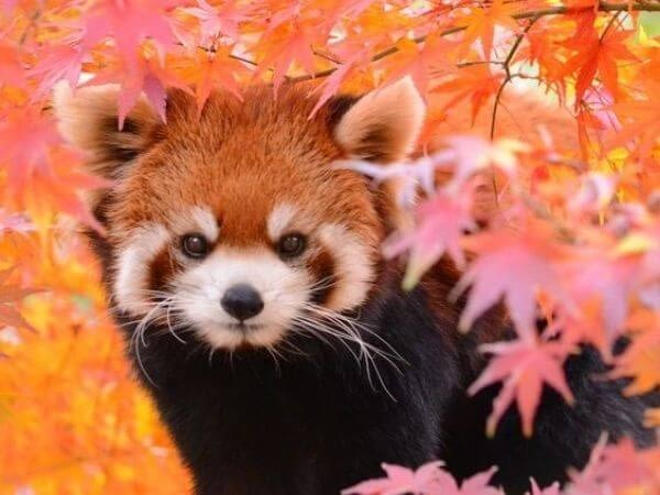 red panda among flowers