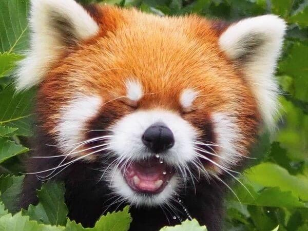 a red panda laughing