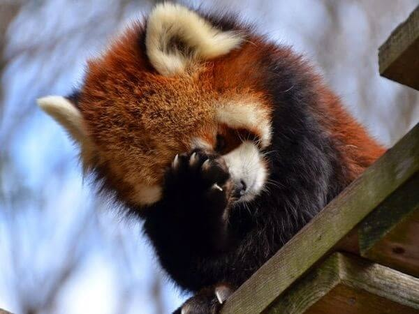 a red panda cutely regretting his mistake