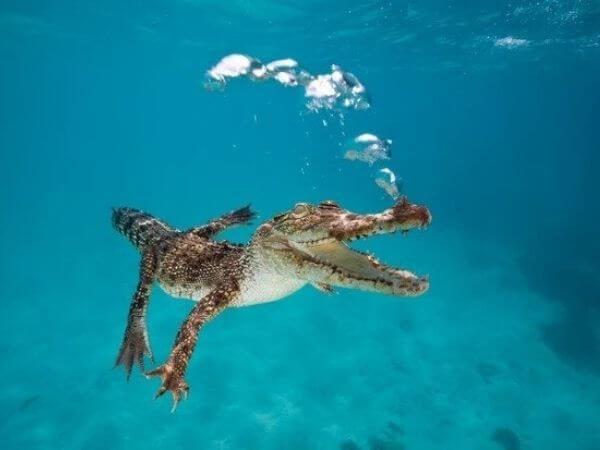 A Saltwater crocodile swimming in the open sea off Queensland, Australia