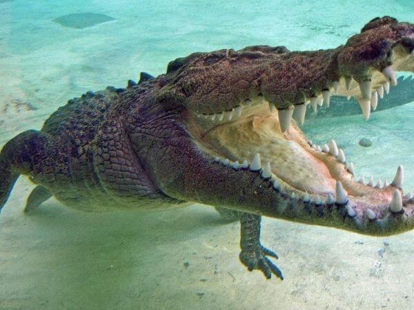 A saltwater crocodile underwater