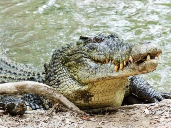 saltwater crocodile is the largest species of reptiles and is one of the biggest animal in the world
