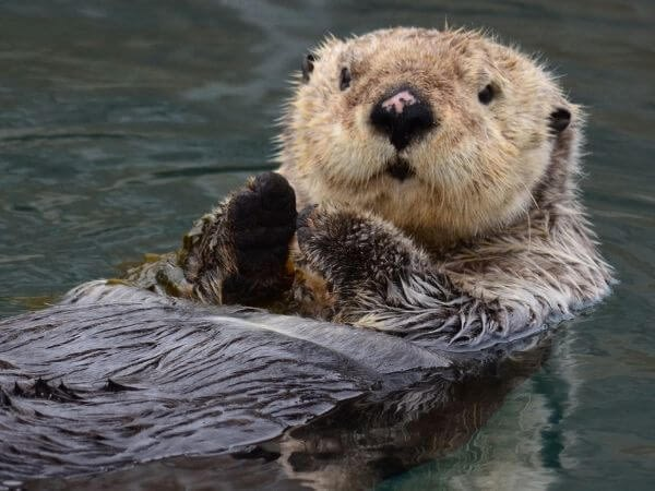 sea otters are one of the cutest animals in the world