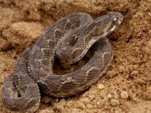 Saw scaled viper, one of the most dangerous snake in the world