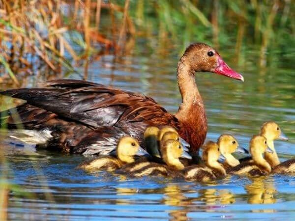 spur winged goose with chicks