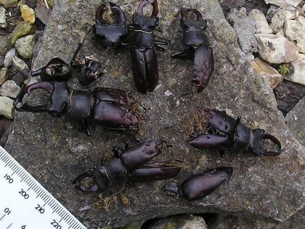 A group of stag beetles found dead in suburbs
