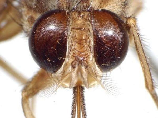 A close-up head image of tsetse fly