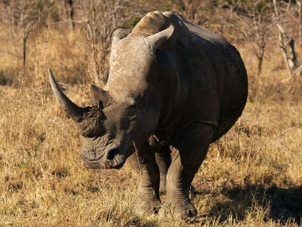 White Rhino in Thornybush Private Game Reserve, South Africa