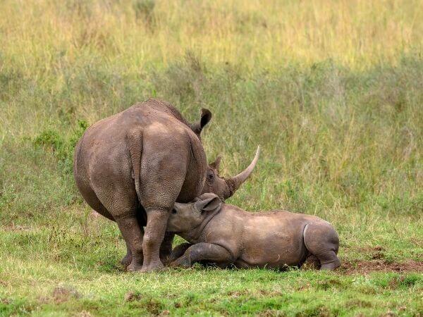 A baby White Rhino nurses from mama at Nairobi National Park, Kenya