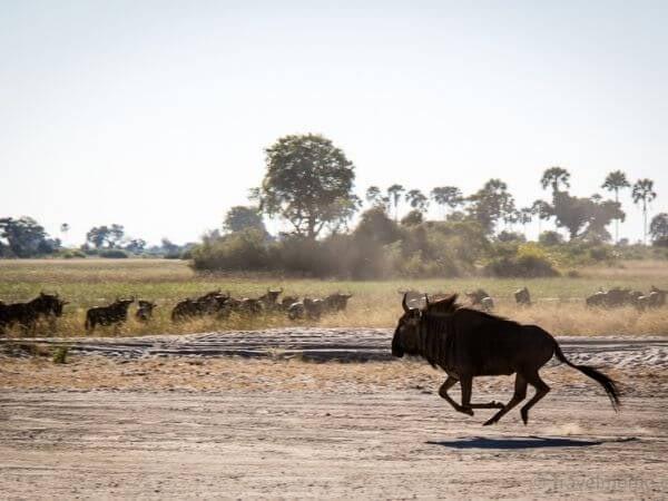 A herd of Wildebeest running away