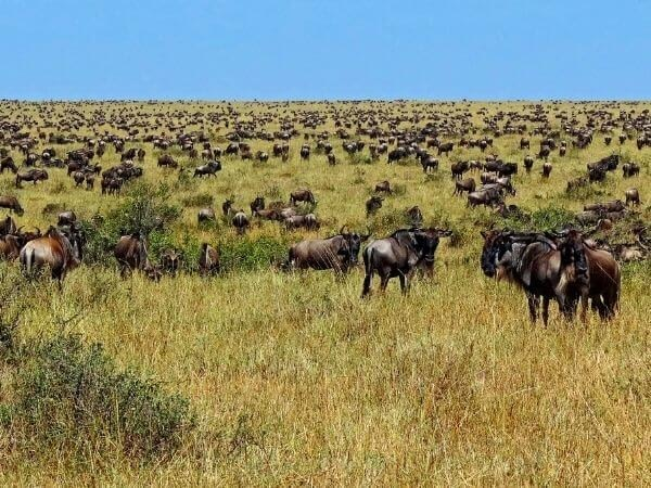 Wildebeest in Masai Mara during the great migration