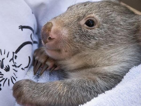 wombat wrapped up in a blanket