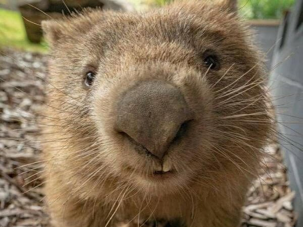 a wombat smiling and looking into the camera