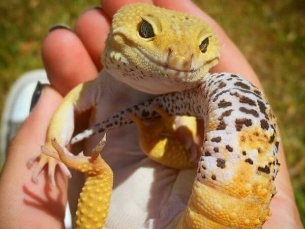 leopard gecko is an adorable pet
