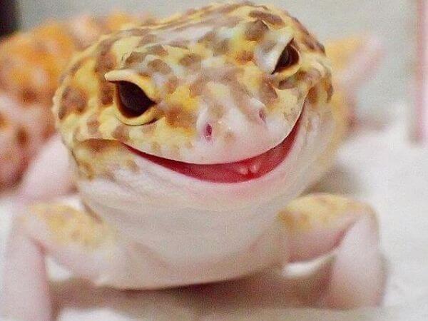 adorable leopard gecko as a pet