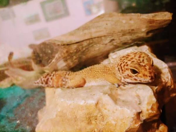 leopard gecko sitting in his cage