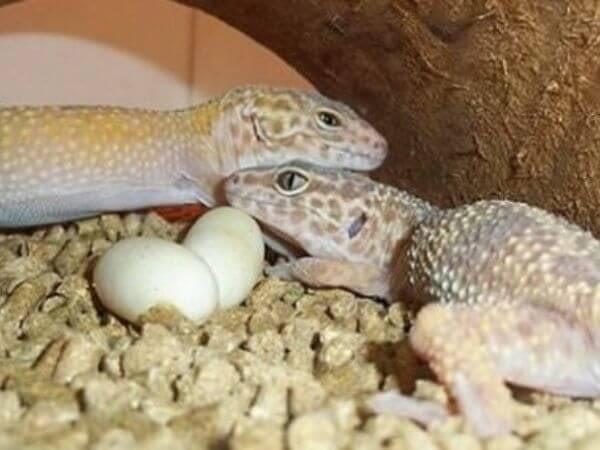 leopard geckos with eggs