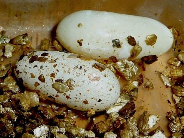 Recently laid eggs of a female gecko