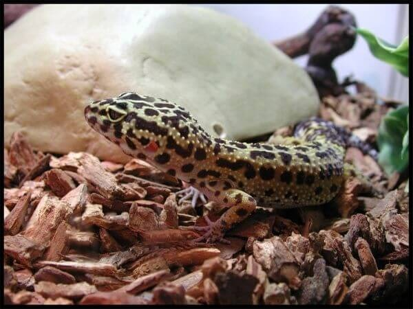 leopard gecko as a pet is really easy to care for