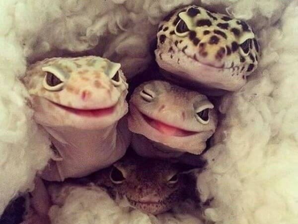 bunch of cute leopard geckos