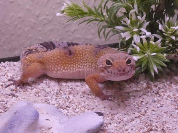 leopard gecko in a cage