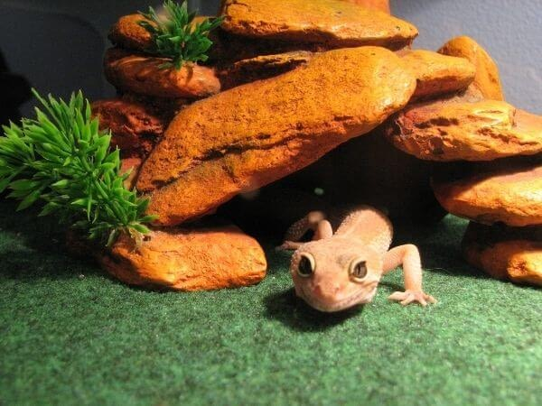 a gecko sneaking from his cage